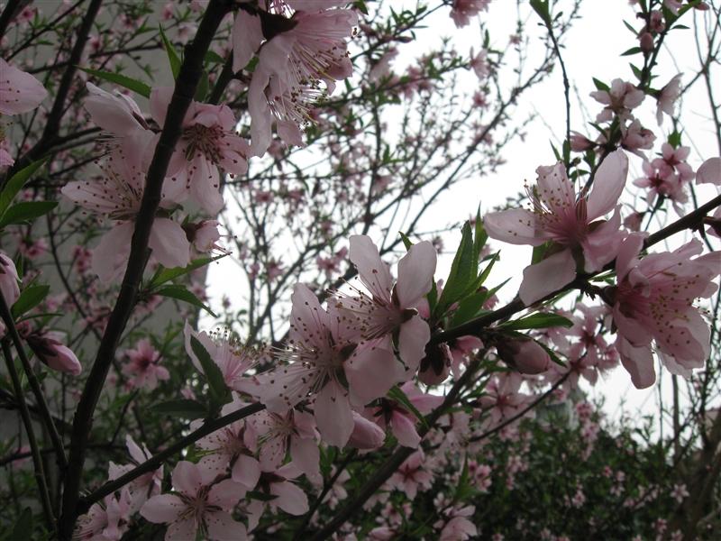 春天的桃花真美呀!